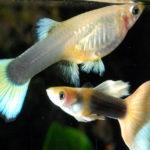 お魚図鑑_熱帯魚_グッピー