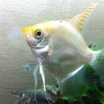 お魚図鑑_熱帯魚_エンゼルフィッシュ