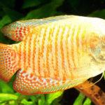 お魚図鑑_熱帯魚_ドワーフグラミー